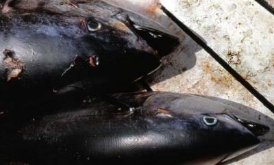 La pesca del tonno rosso